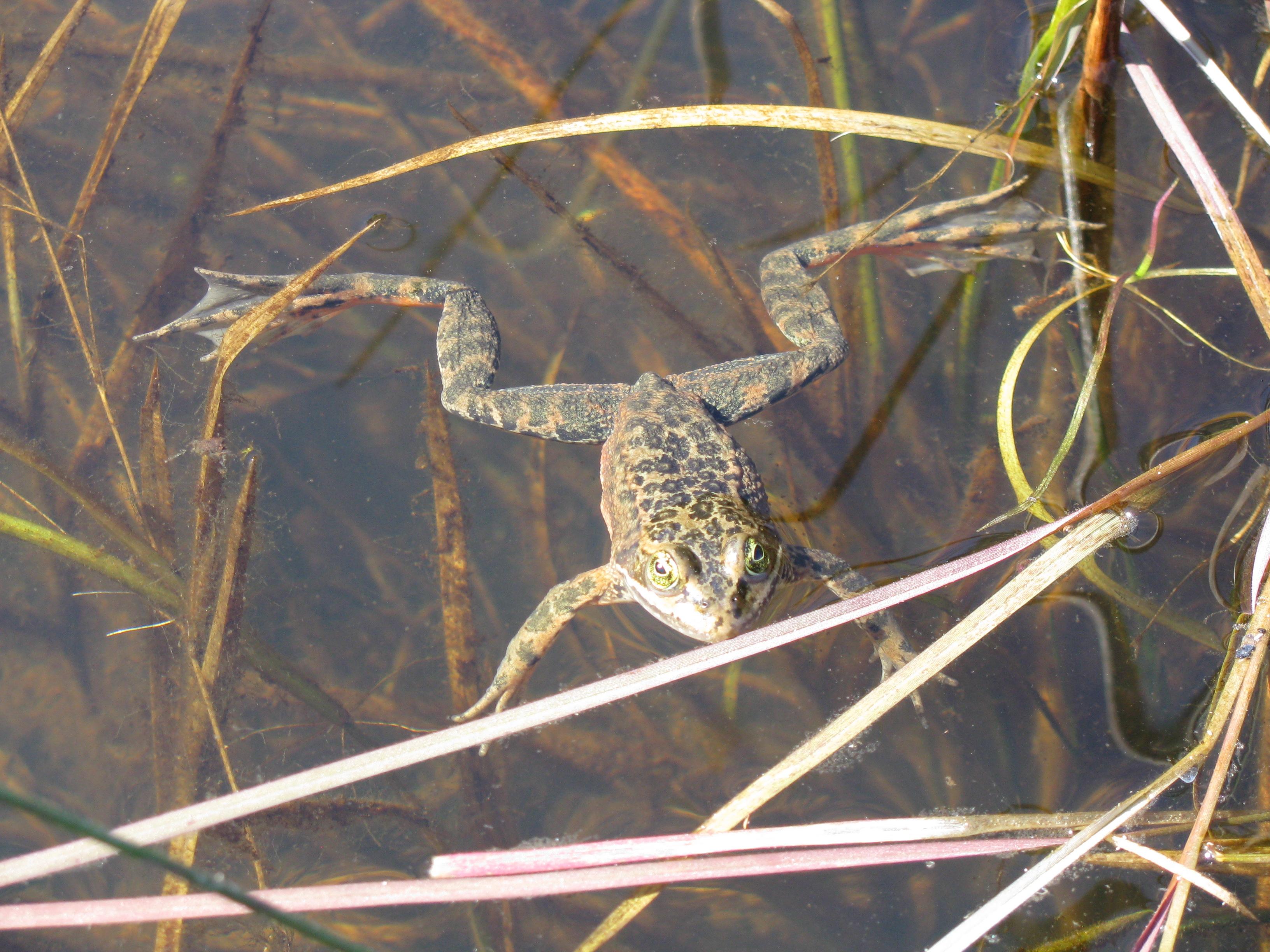 oregon_spotted_frog_rana_pretiosa_8895523540